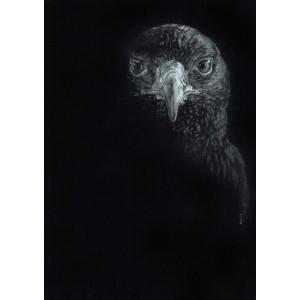 Lámina Decorativa Falco Peregrinus