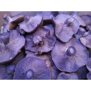 Setas Pie azul (Lepista nuda)