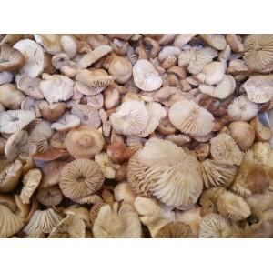 Senderilla de Soria (Marasmius oreades) 1 Kg. Setas frescas.