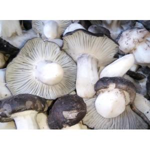 Marzuelo de Soria (Hygrophorus marzuolus) 1kg Seta fresca