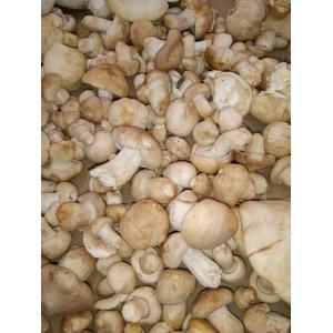 Perretxiko (Calocybe gambosa) Primer kilo de seta fresca!!!